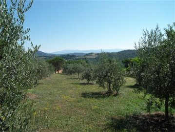 Casale dell'Olmo - The olive grove