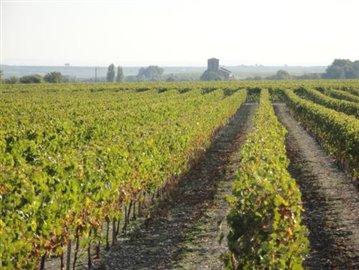 LA HAUTE SAINTONGE - Vignes © CMT17 E. COEFFE