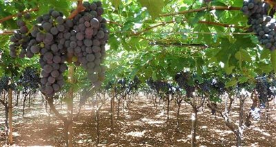 vineyard--Copy-