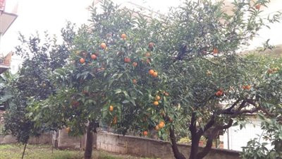 11-Garden with orange tree
