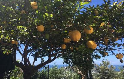 citronnier-mariou-img_2116