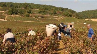 -aitkin-20grape-harvest