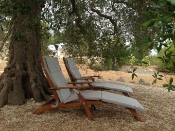 shady-giant-olive-tree-3