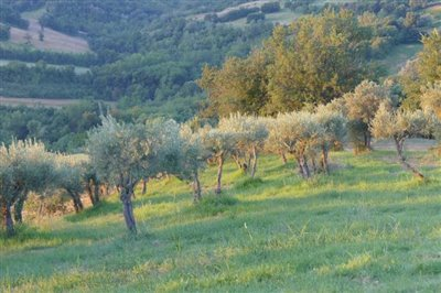 lo-villa-top-olive-grove