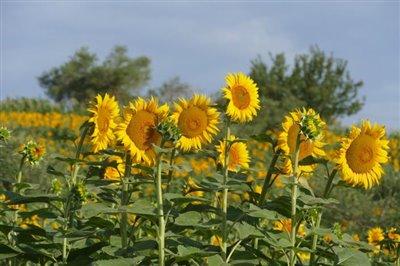 lo-villa-sunflowers