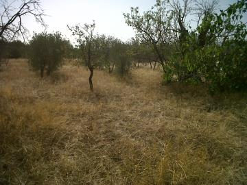 Plot-Of-Land-No-3-With-Olive-Trees