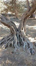OliveTrunk