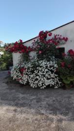 roses-and-shasta-daisies--002-