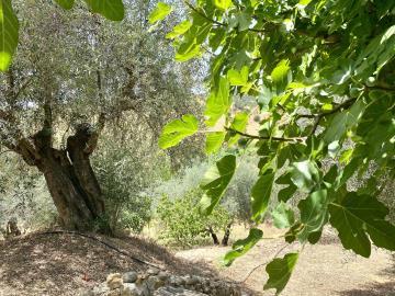 Land-fig